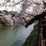 【体験談】千鳥ヶ淵の桜を見て靖国神社に参拝してきました